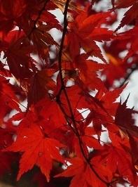 太平山の紅葉4.jpg