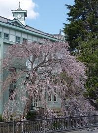 枝垂れ桜と2019年4月.jpg