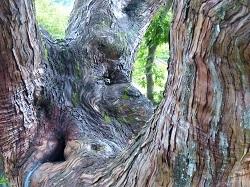 樹齢550年の檜.jpg