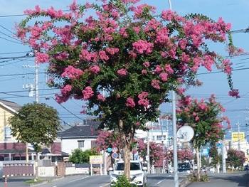 百日紅の街路樹5.jpg