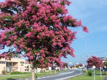 百日紅の街路樹1.jpg