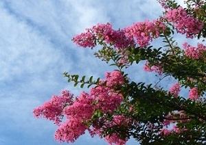 百日紅の街路樹2.jpg