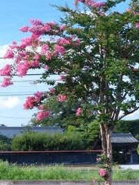 百日紅の街路樹3.jpg