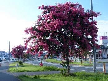 百日紅の街路樹4.jpg